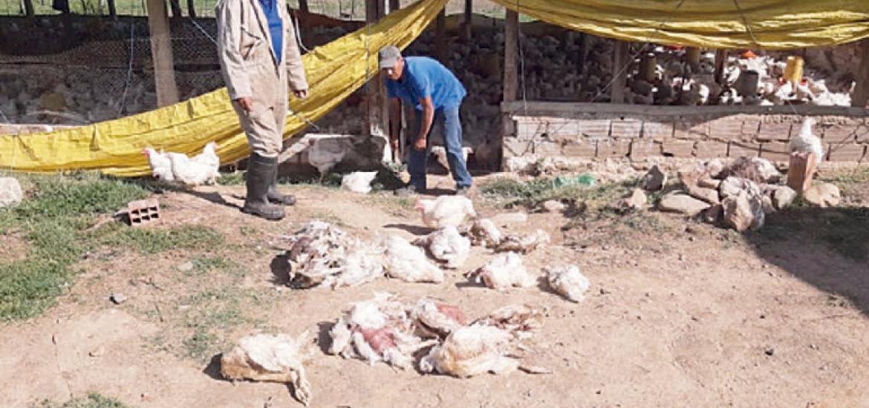 Mueren pollos por falta de comida